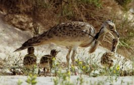 Rajasthan's State bird may be extinct soon