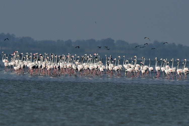 Nature-lovers throng Pulicat lake for flamingo fete