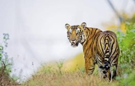 International Stock Taking Conference on Tiger Conservation