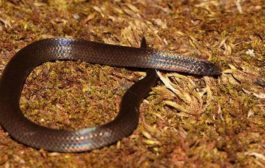 Wood snake, last seen in 1878, rediscovered by scientists