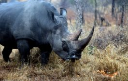 India collaborates with four nations to protect Asian rhinos