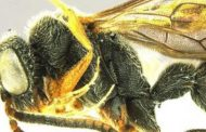 New Species of Wasp found in Goa