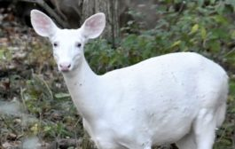WHITE DEER SPOTTED IN DIMA HASAO, ASSAM