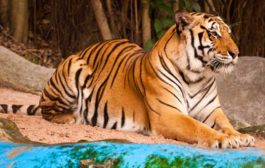 Status of Conservation of Tigers