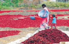 Unique Chilli festival begins at Kasrawad in Khargone district of MP