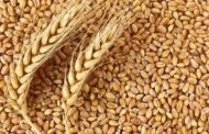 India develops new biofortified high protein wheat variety