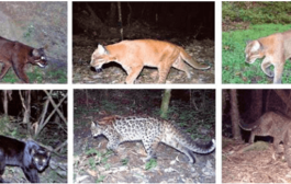 Scientists have discovered six colour morphs of the asiatic golden cat in arunachal pradesh