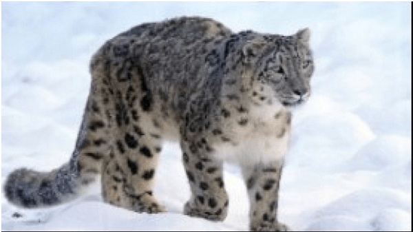 First National Protocol to Enumerate Snow Leopard Population in India Launched
