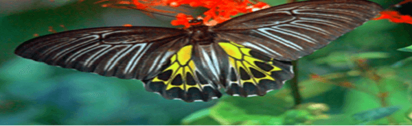 Golden Birdwing butterfly named as India's largest butterfly