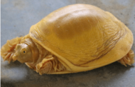 A turtle born with a golden shell has been discovered in Nepal