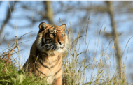 'India has 70% of world's tiger population