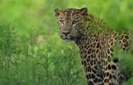 Union Minister releases 'Status of Leopards in India 2018' report