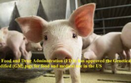 US Food and Drug Administration (FDA) has approved the Genetically modified (GM) pigs for food and medical use in the US