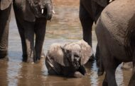 Oxford University has developed a new method of investigating African elephants