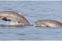 Dolphin boom in Odisha's Chilika lake
