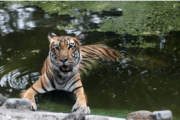 Rajasthan government has planned to develop a tiger corridor connecting Ranthambore tiger reserve,