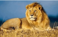 World Lion Day: 10th August 2021